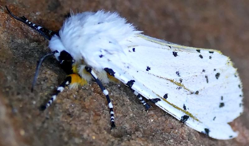 H08131  P179EstigmeneAcrea498 Apr. 4, 2019  7:20 a.m.  P1790498 This is a worn Salt Marsh Moth, Estigmene acrea, at LBJ WC.  Erebid.