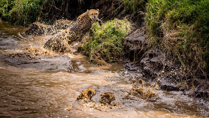 Cheetahs-0213.jpg