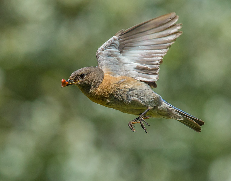 Robin-134.jpg