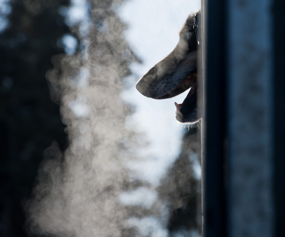 . Jem, a dog in Justin Savidis\' team pokes his head out of the dog truck before the start of the Iditarod Trail Sled Dog Race on Willow Lake, Sunday, March 2, 2014, in Willow, Alaska. The race will take mushers nearly a thousand miles to the finish line in Nome, on Alaska\'s western coast. (AP Photo/Anchorage Daily News, Marc Lester)