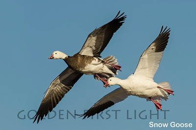 Snow Goose, Bosque del Apache NM, USA