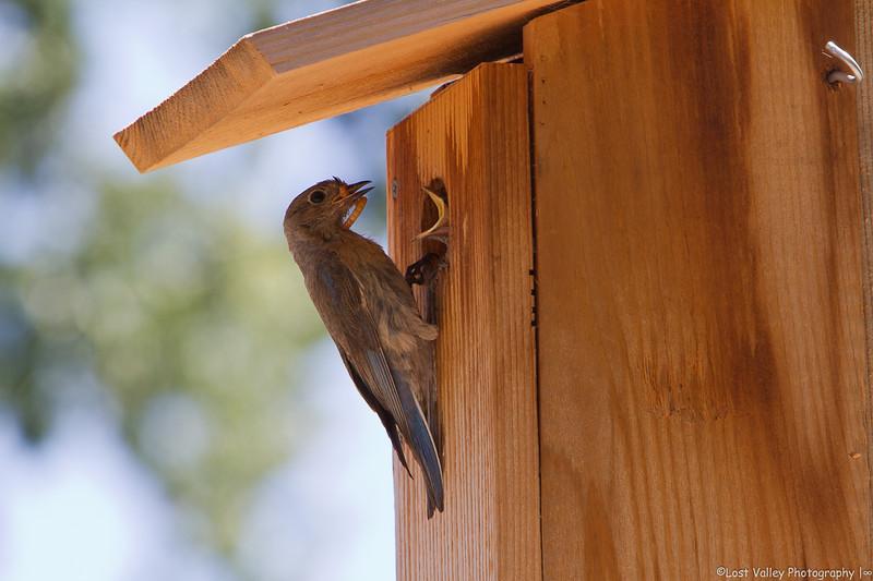 Western Bluebird & Nestling (1 of 1).jpg