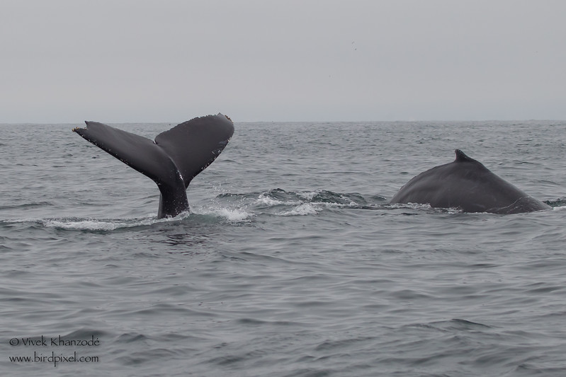Humpback Whales diving - Near Moss Landing, CA, USA