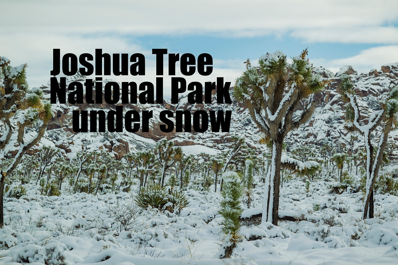 Joshua Tree Under Snow