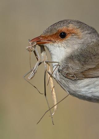 Fairy-wrens diet