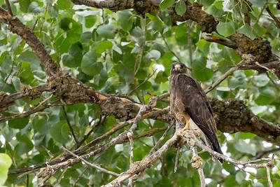 Swainson Hawk and Burrowing Owls