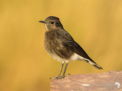 Mountain Wheatear at Twyfelfontein, Namibia