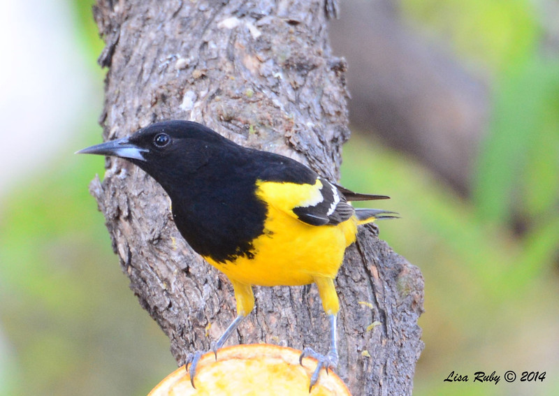 Scott's Oriole - 4/20/2014 - Ash Canyon B&B, Hereford, Arizona