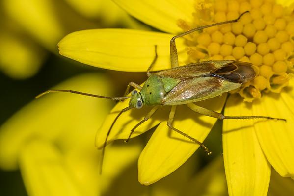 Plant bugs (Miridae)