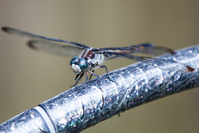 Dragonfly 2013