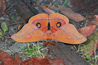 Saturniidae - Emperor Moths