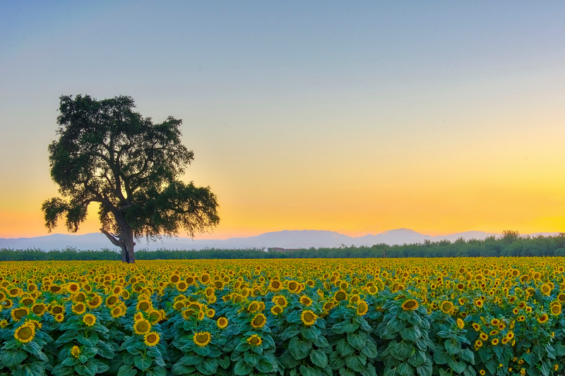 Sunflower Field West PS_DSC0791_HDR.jpg