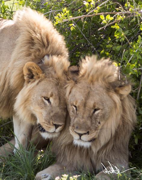 Lions Etosha-S-11.jpg