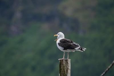 Great Black-backed Gull [Larus marinus]