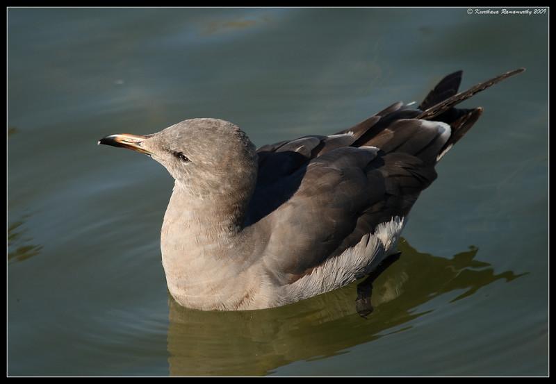 Juvenile Heermann's Gull, Buccaneer Park, San Diego County, California, December 2008
