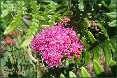 """""""Stacie's Sierra"""" - Sierra Wildflowers"""
