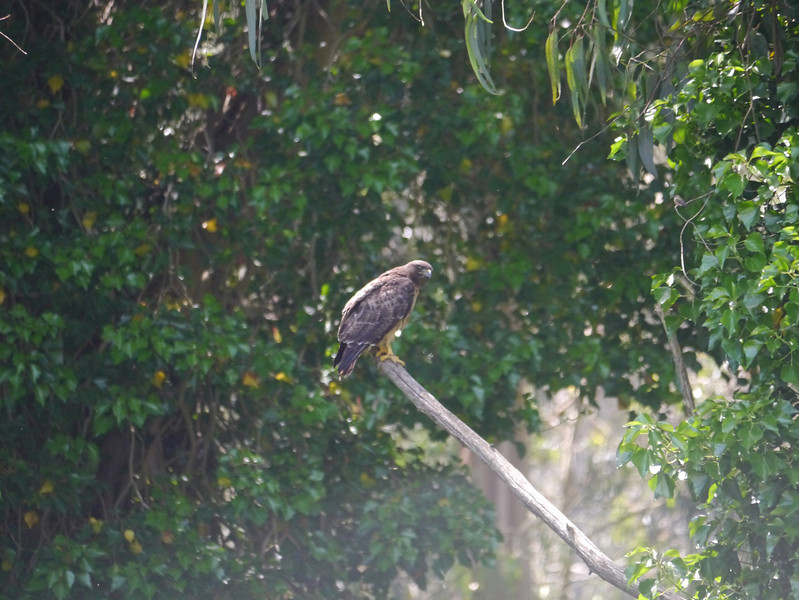 Hawk, Red-tailed? Cooper's?