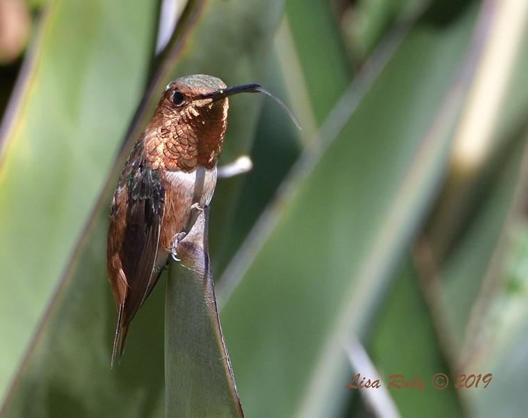 Allen's Hummingbird - 7/1/2019 - Sabre Springs Backyard