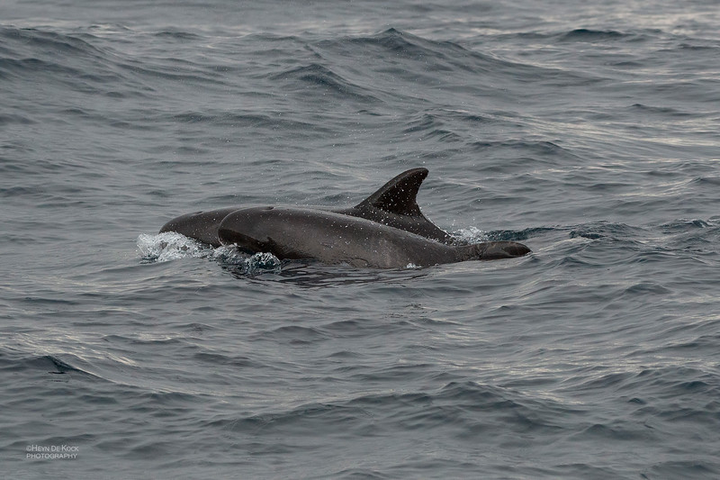 Pygmy Killer Whale, Wollongong Pelagic, Aug 2014-2.jpg