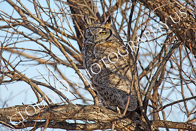 Great Horned Owl Wildlife Photography