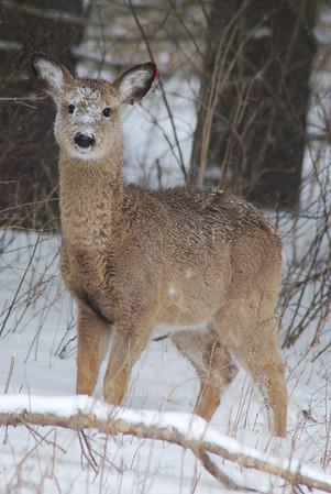 Deer. Caught in the headlights