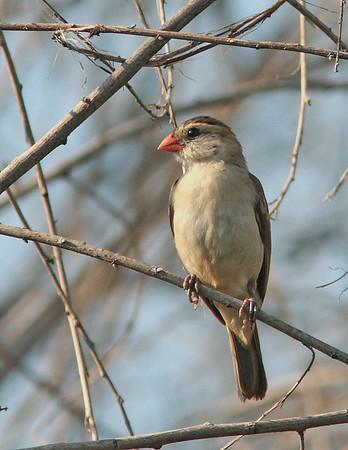 Vidua macroura - Pin-tailed Whydah