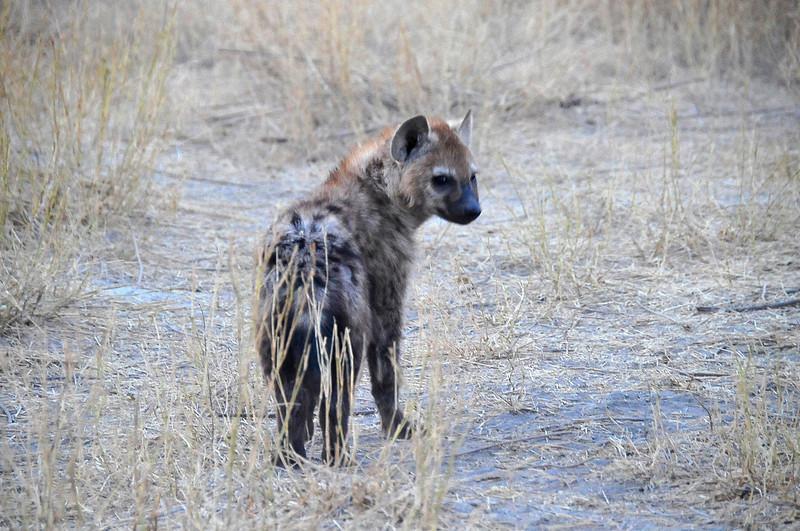 EPV1171 Hyena Pup.jpg