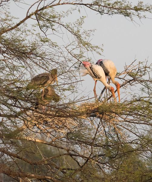 birds of india (16 of 17)Dec.jpg