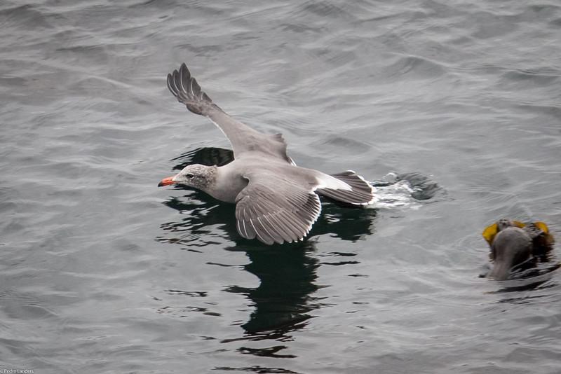 Heermann's Gull Flying Low