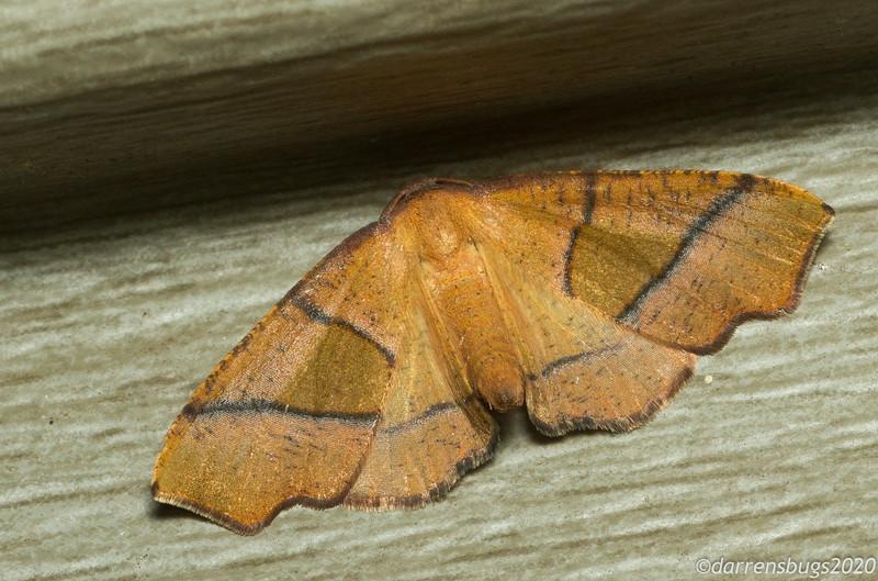 Straight-lined Plagodis, Plagodis phlogosari (Geometridae).