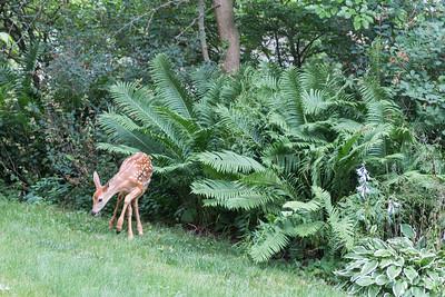 7.15.16 Deer in the Yard