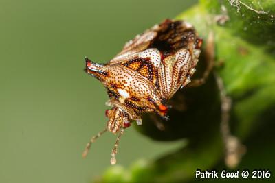 Spike-shouldered Shield Bug