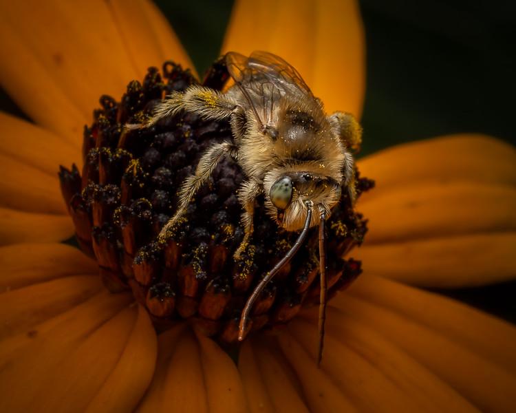 Bee on Blackeye - 8-19-18.jpg