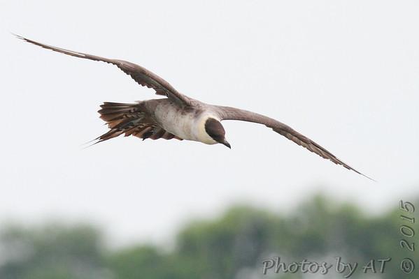 Birding 2015 July