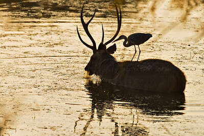 Sambar and the Heron