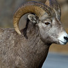 Big Horn Sheep - Kananaskis