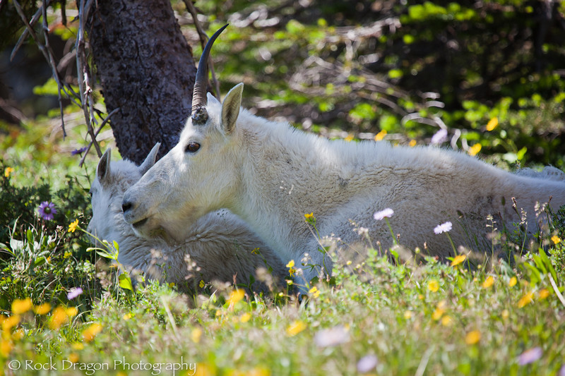 A Mountain Goat and kid in Glacier National Park Montana.