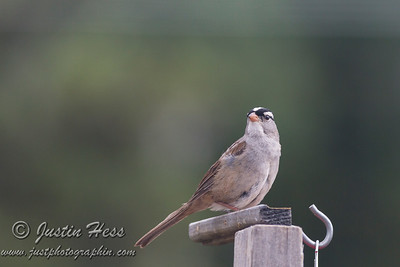 White-crowned Sparrow 07-05-2017