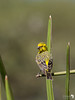 Yellow-fronted Canary