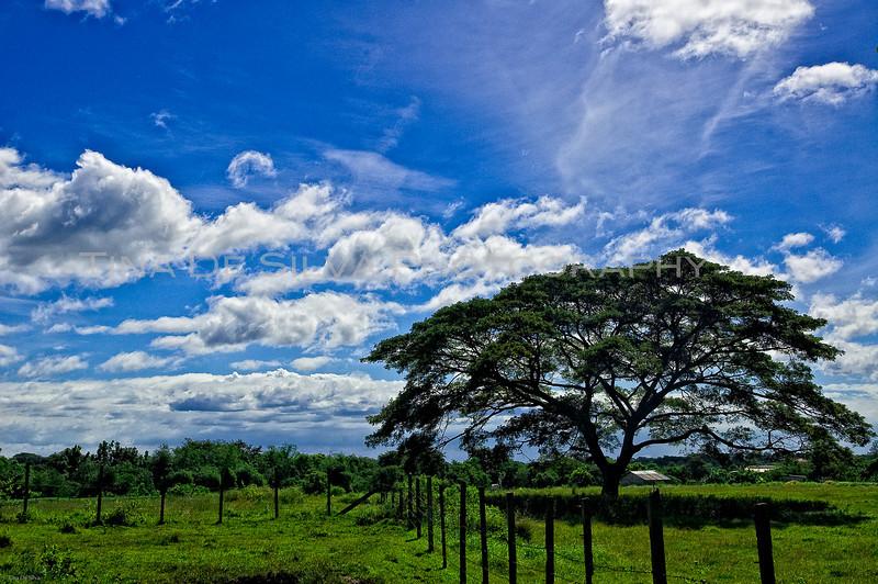 Acacia Tree near Daddy's Farm1