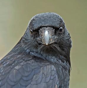 Carrion Crow, (Corvus corone)