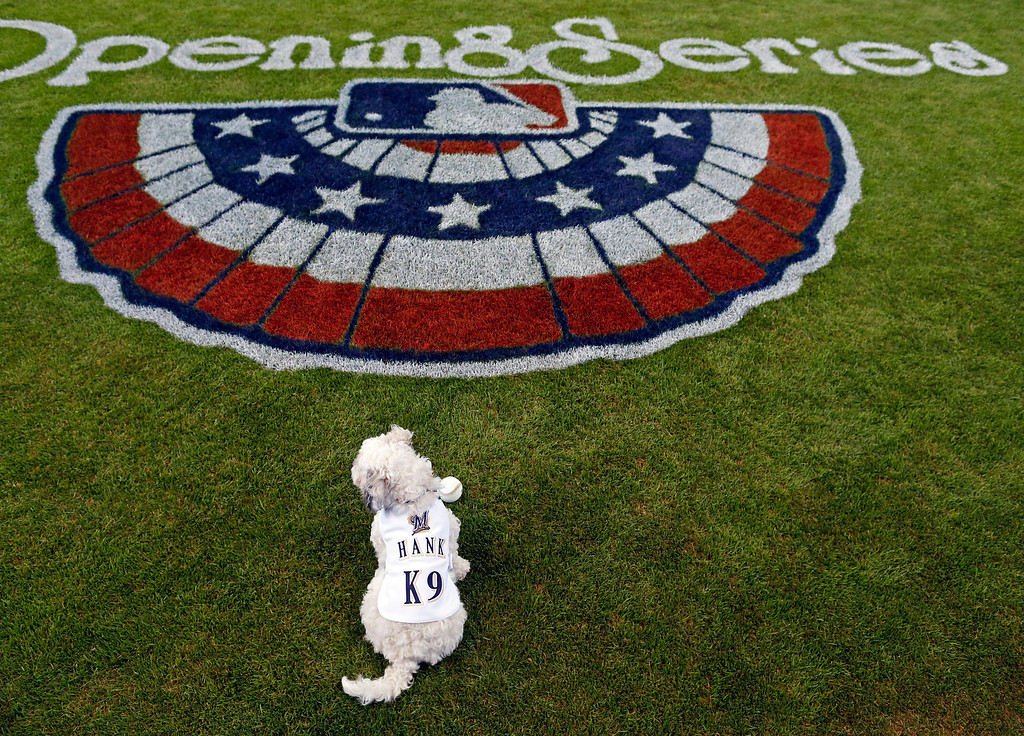 . Hank, the unofficial mascot of the Milwaukee Brewers, sits on the field before the opening day baseball game between the Milwaukee Brewers and Atlanta Braves at Miller Park, Monday, March 31, 2014, in Milwaukee. (AP Photo/Jeffrey Phelps)