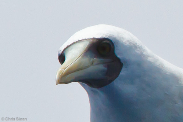 Masked Booby at pelagic trip off Hatteras, NC (06-01-2011) - 303.jpg