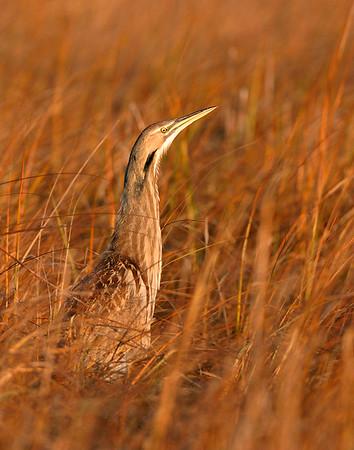 Marshbirds