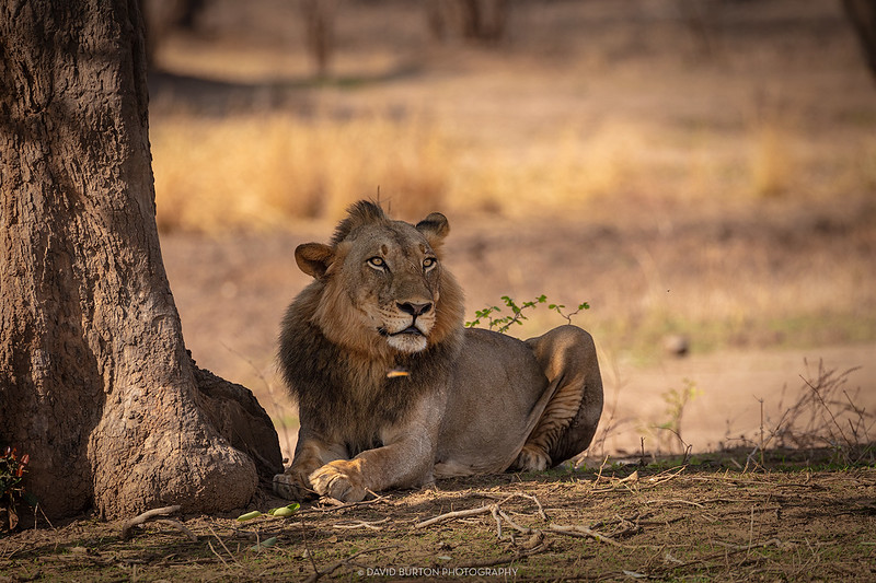 Mfuwe_lions_7695cc2fx-web.jpg