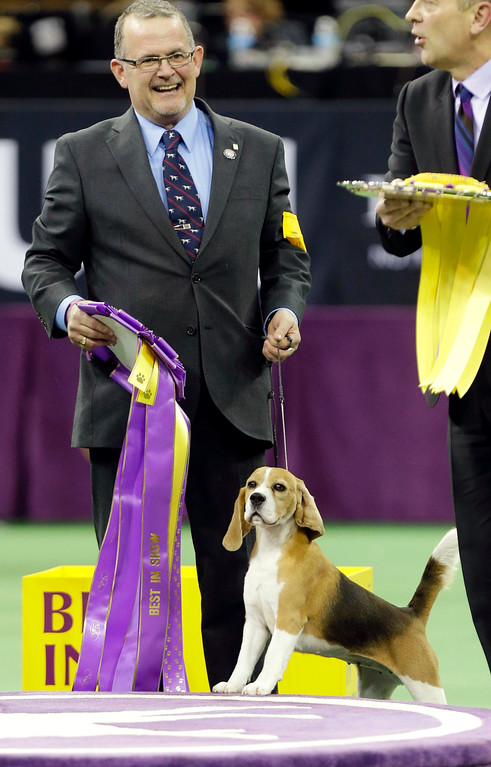 . Miss P, a 15-inch beagle, and handler William Alexander, react after winning the Best in Show at the Westminster Kennel Club dog show Tuesday, Feb. 17, 2015, in New York. (AP Photo/Frank Franklin II)