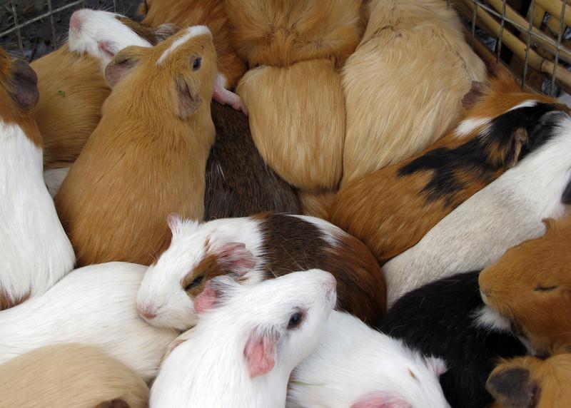 GUINEA PIGS - SAQUISILI