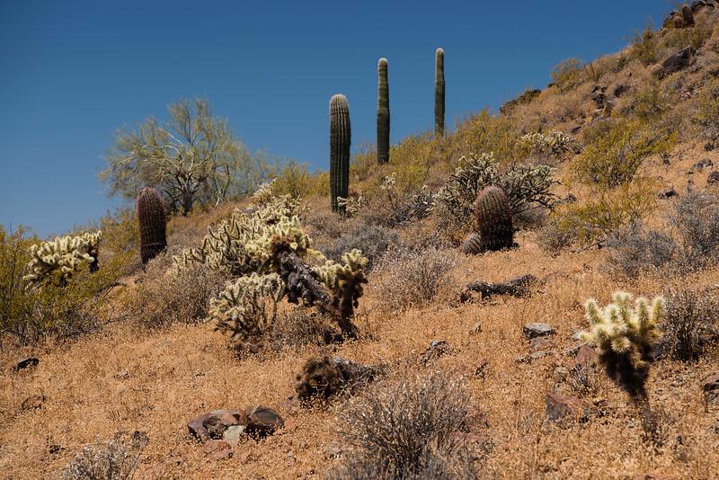 Abundance of plant life at Phoenix Sonoran Preserve