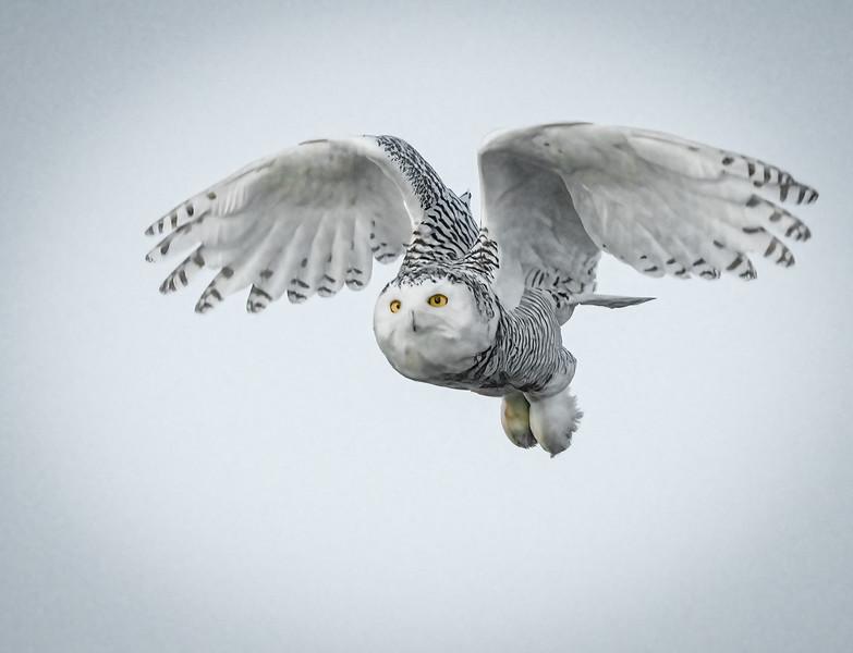 _6000925-Edit Snowy Owl Daisy half wings.jpg