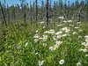 Oxeye Daisies In the Woods